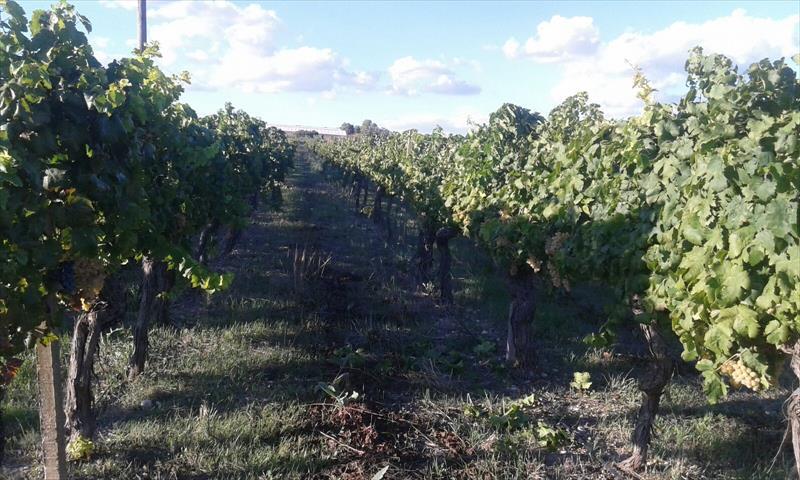 Terreno agricolo di 33.000 mq, di cui 10.000 mq coltivato a vigneto, vitigno Insolia, e il restante coperto da serre in legno. Vi è un pozzo trivellato e un palmento di 70 mq con annessa abitazione   ...