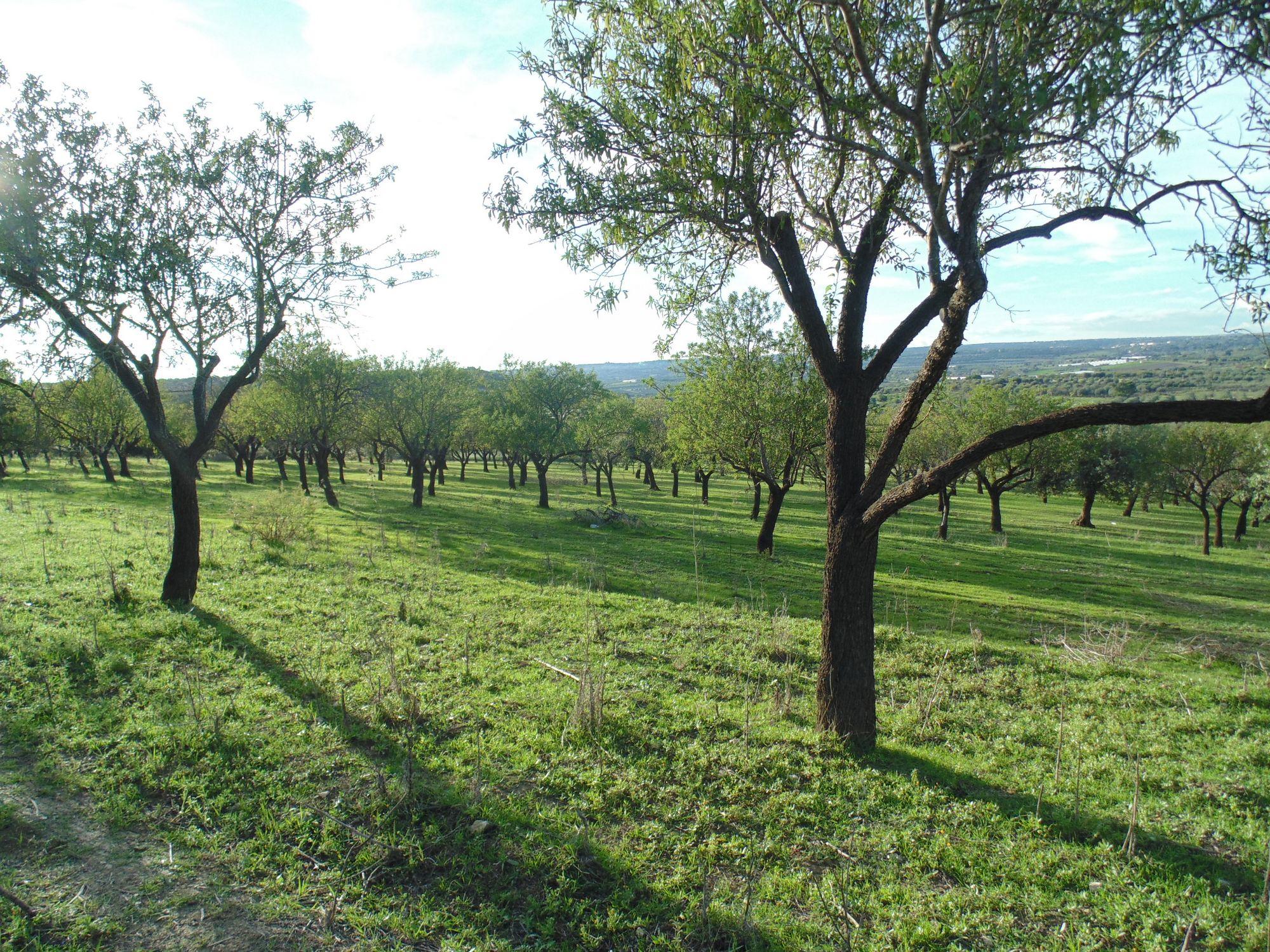Terreno con mandorleto e numerosi alberi di ulivi e carrubbi esteso circa 7 tumuli  ...